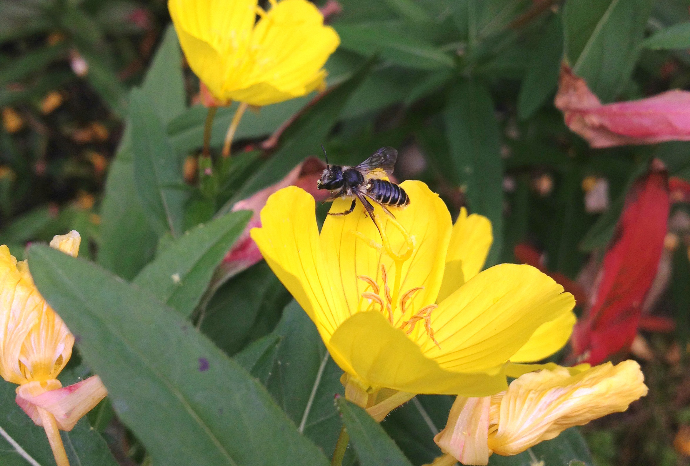 Megachile oenotherae, a species of bee, rests on a flower.